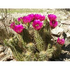 In April, the hedgehog cactus brightens the Sonoran Desert with colorful blooms.