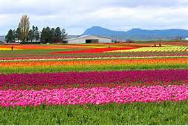 The Skagit Valley in Washington state has fields of gorgeous tulips in April. You don't ever see a weed, especially not sassy weeds like Arizona has.